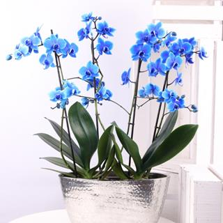 Blue Orchid Plant Gift image