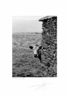 "Curious Cow, Co. Kerry 94 - 12""x16"" image"